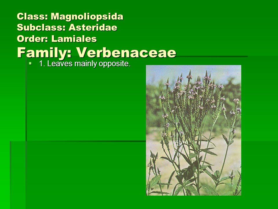 Class: Magnoliopsida Subclass: Asteridae Order: Lamiales Family: Verbenaceae