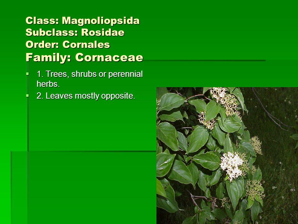 Class: Magnoliopsida Subclass: Rosidae Order: Cornales Family: Cornaceae
