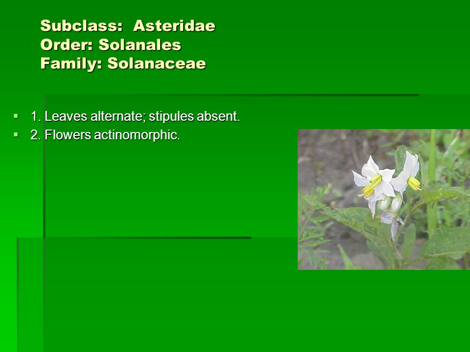 Subclass: Asteridae Order: Solanales Family: Solanaceae