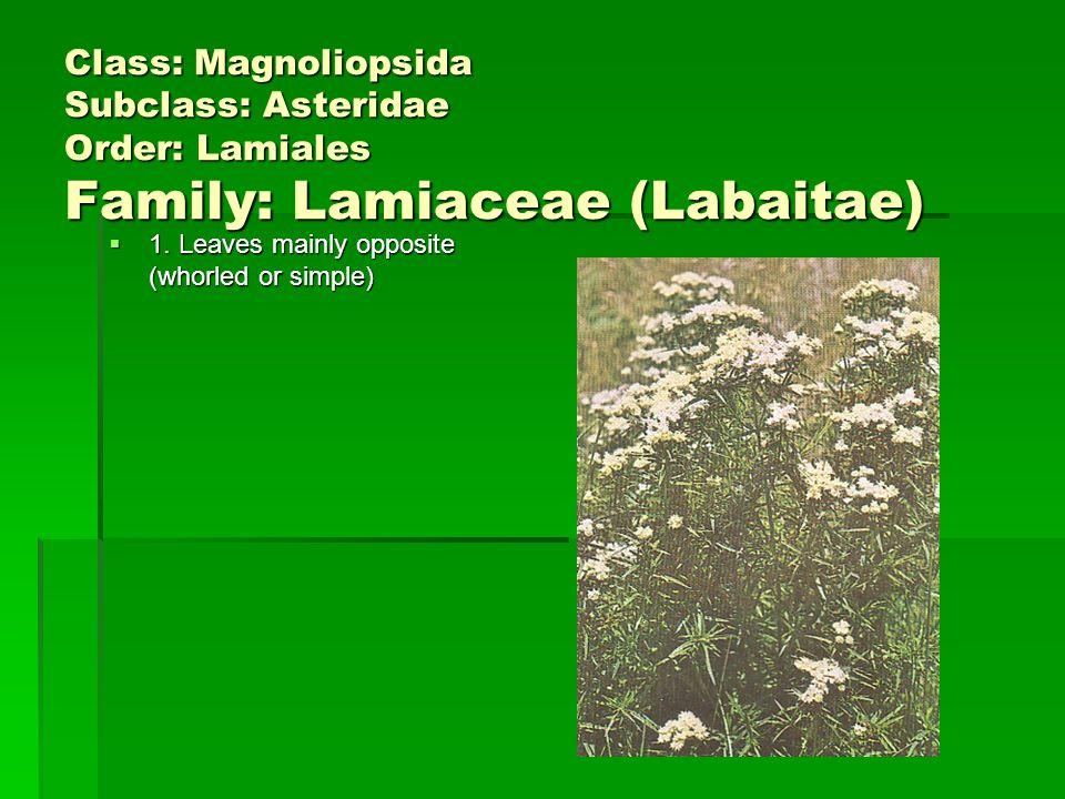 Class: Magnoliopsida Subclass: Asteridae Order: Lamiales Family: Lamiaceae (Labaitae)