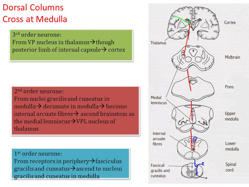 Dorsal Columns Cross at Medulla 3rd order neurone: