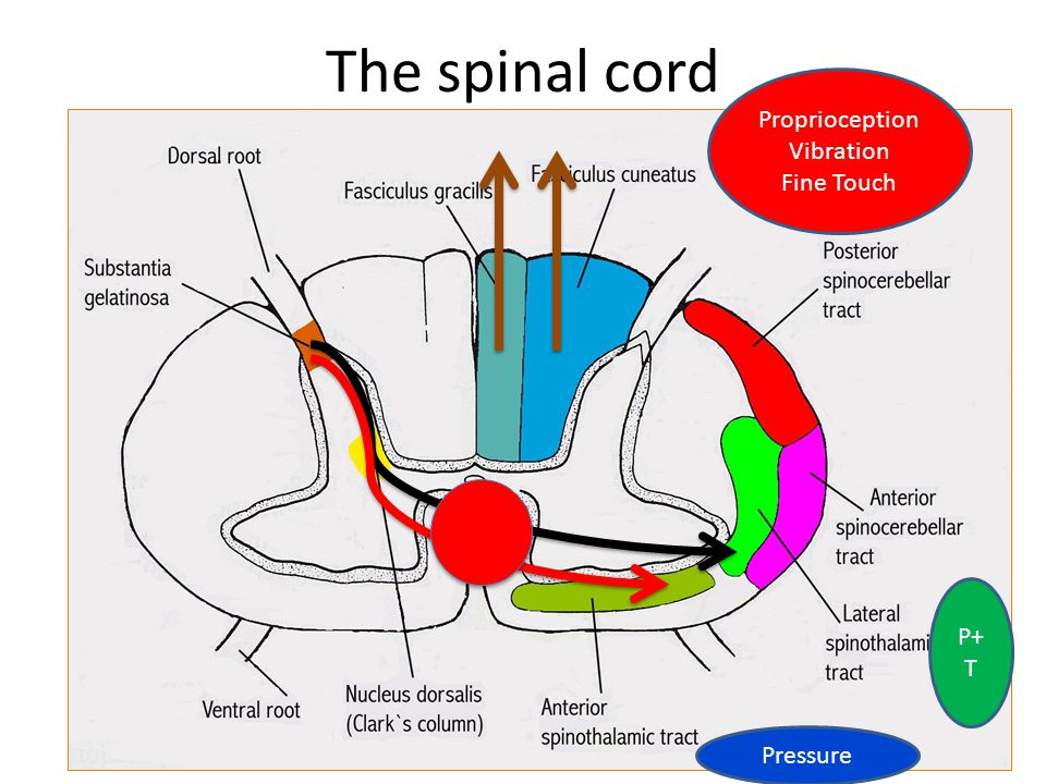 The spinal cord Proprioception Vibration Fine Touch P+T Pressure