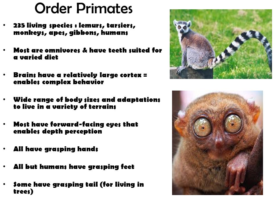 Order Primates 235 living species : lemurs, tarsiers, monkeys, apes, gibbons, humans. Most are omnivores & have teeth suited for a varied diet.