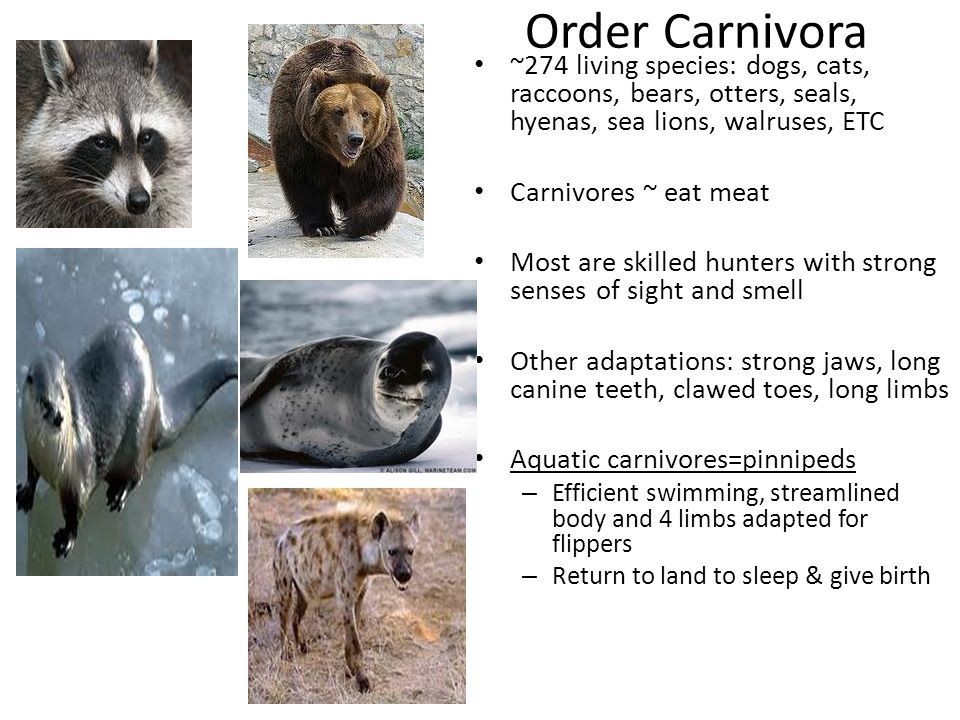 Order Carnivora ~274 living species: dogs, cats, raccoons, bears, otters, seals, hyenas, sea lions, walruses, ETC.