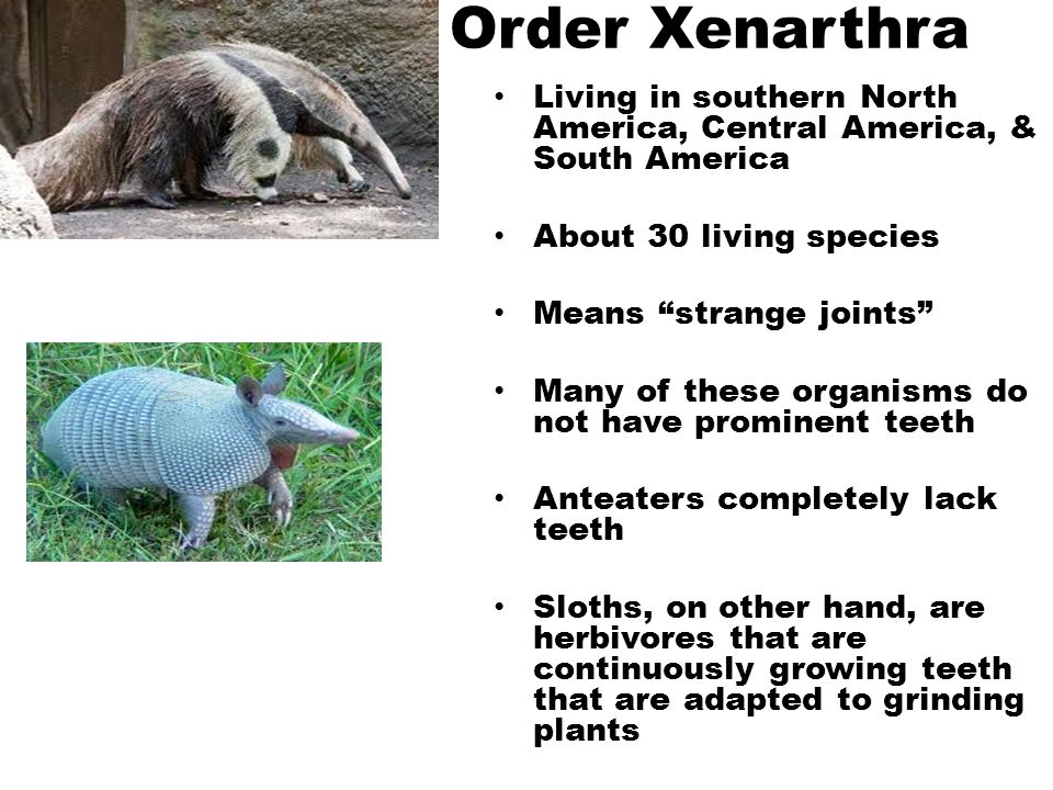 Order Xenarthra Living in southern North America, Central America, & South America. About 30 living species.