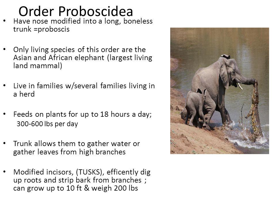 Order Proboscidea Have nose modified into a long, boneless trunk =proboscis.