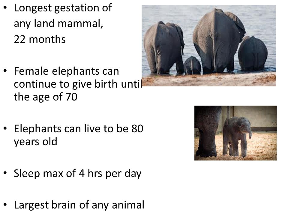 Longest gestation of any land mammal, 22 months. Female elephants can continue to give birth until the age of 70.
