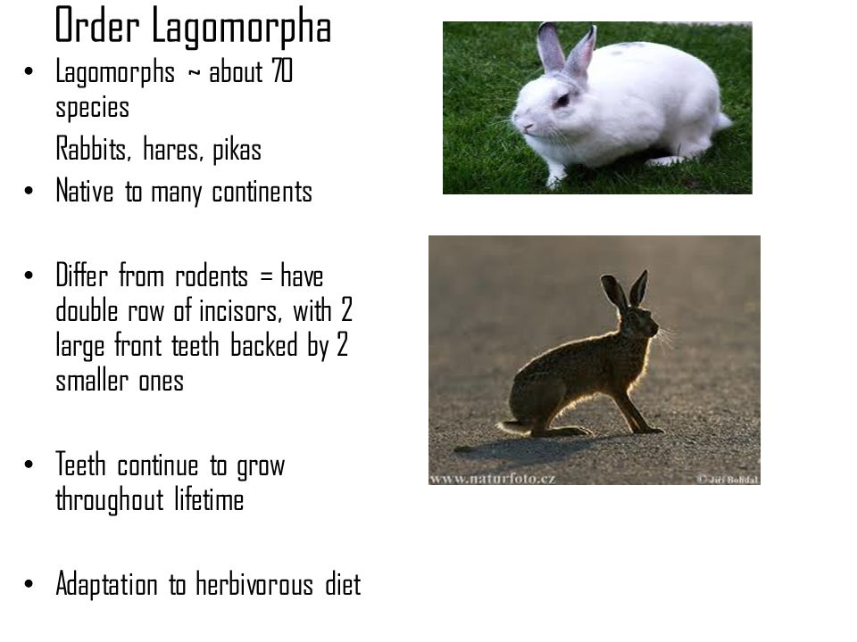 Order Lagomorpha Lagomorphs ~ about 70 species Rabbits, hares, pikas