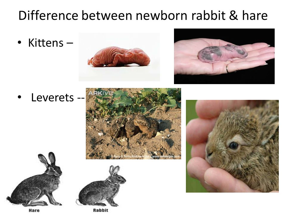 Difference between newborn rabbit & hare