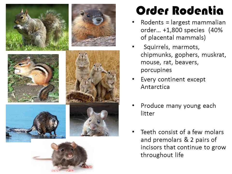 Order Rodentia Rodents = largest mammalian order… +1,800 species (40% of placental mammals)