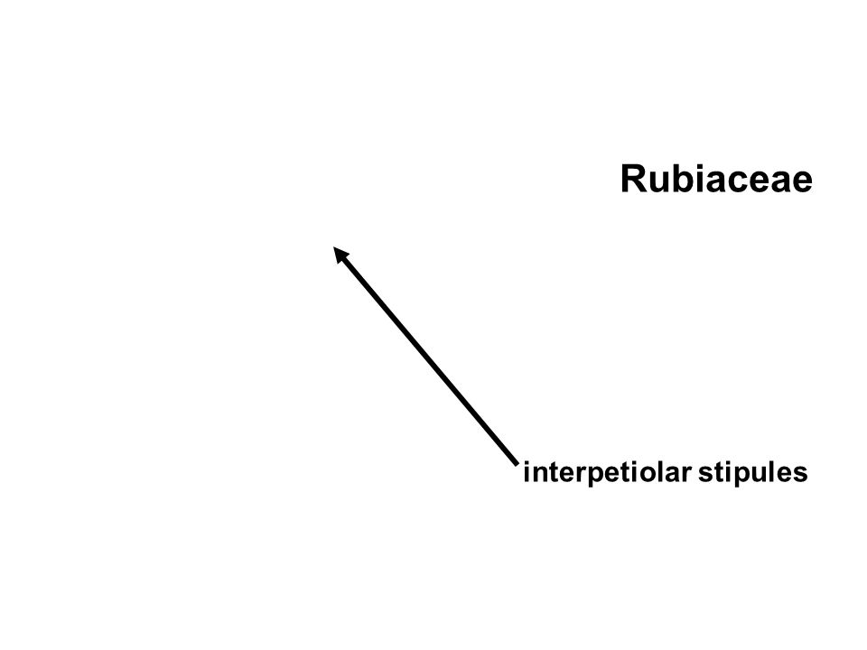 Rubiaceae interpetiolar stipules