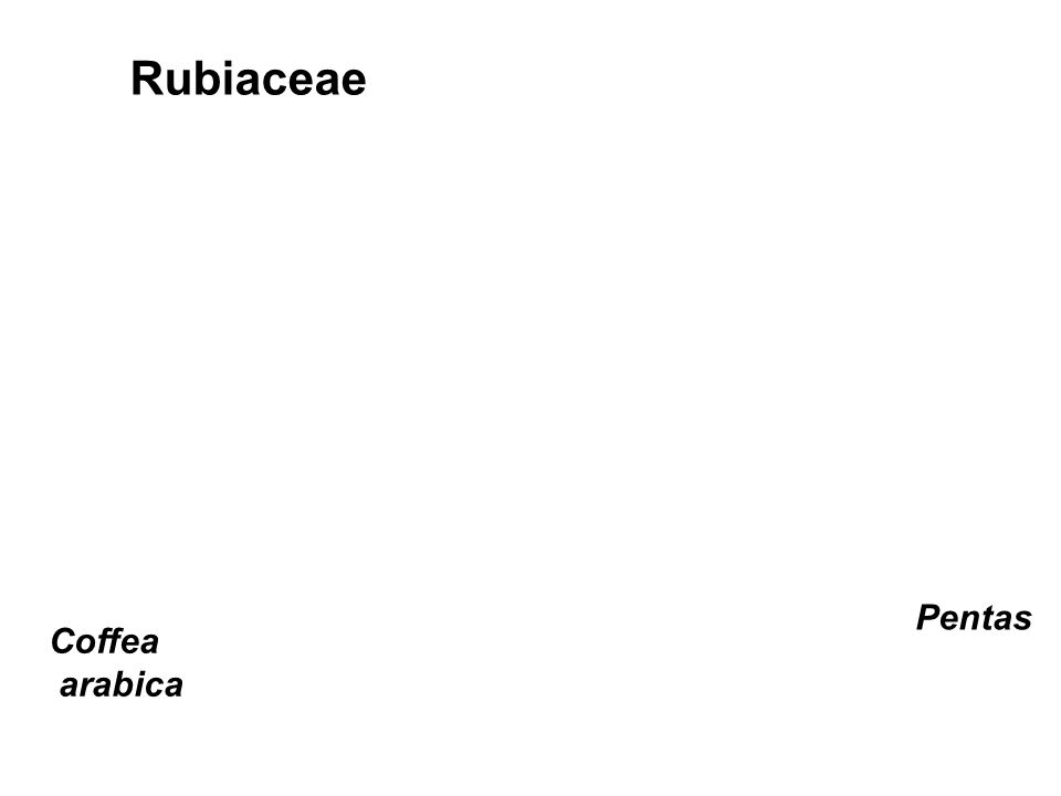 Rubiaceae Pentas Coffea arabica