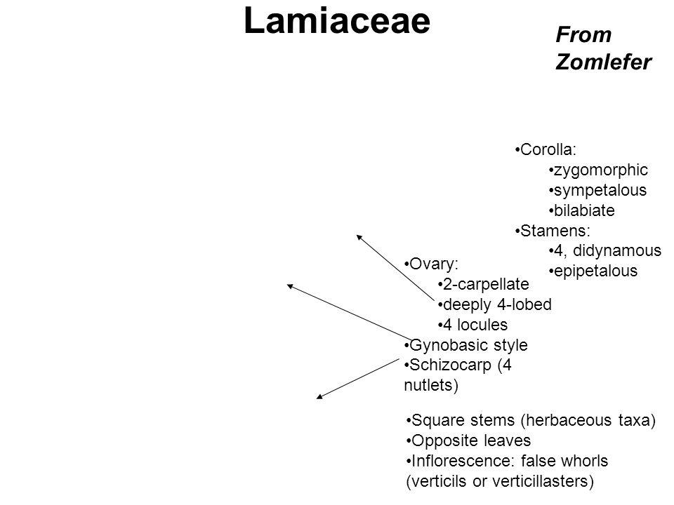 Lamiaceae From Zomlefer Corolla: zygomorphic sympetalous bilabiate