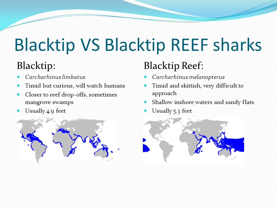 Blacktip VS Blacktip REEF sharks