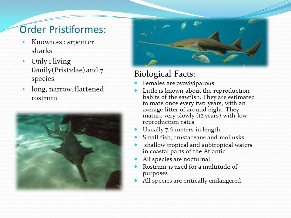 Order Pristiformes: Biological Facts: Known as carpenter sharks
