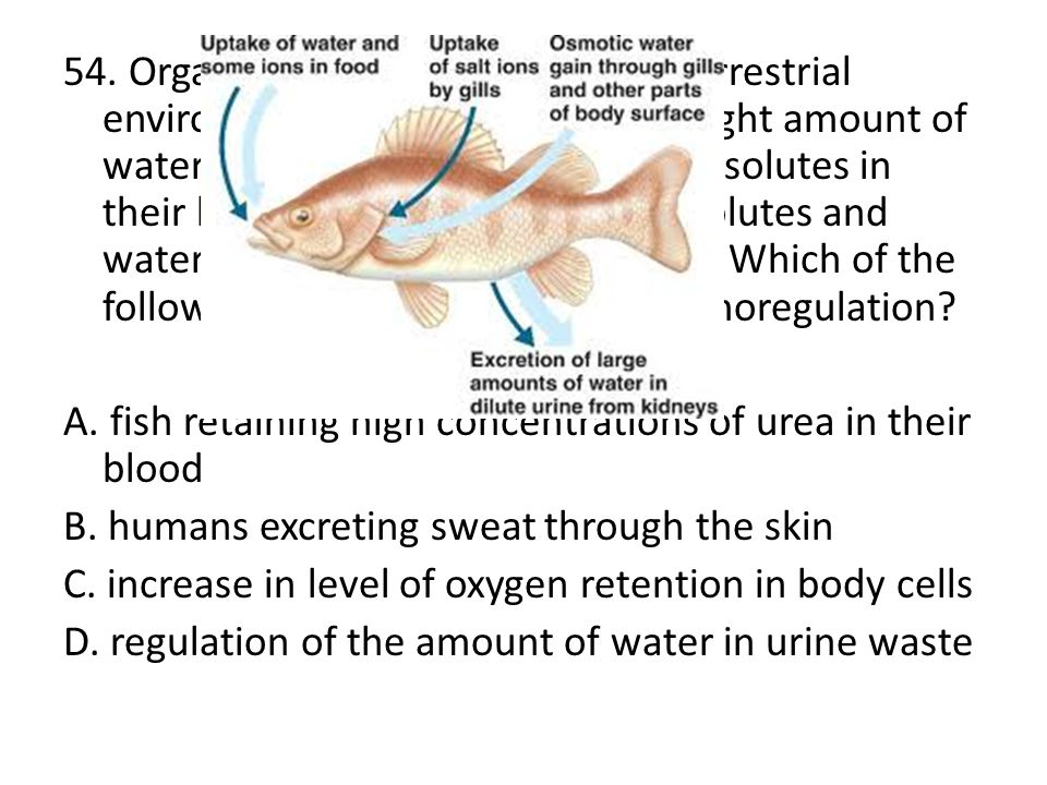 54. Organisms in both aquatic and terrestrial environments must maintain the right amount of water and proper concentration of solutes in their body fluids. This balance of solutes and water is known as osmoregulation. Which of the following is NOT an example of osmoregulation