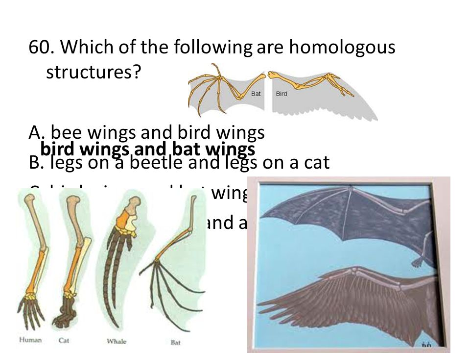 60. Which of the following are homologous structures