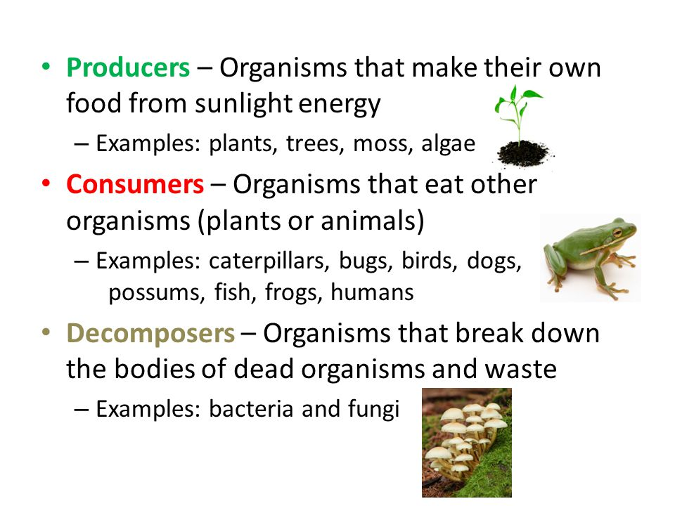 Producers – Organisms that make their own food from sunlight energy