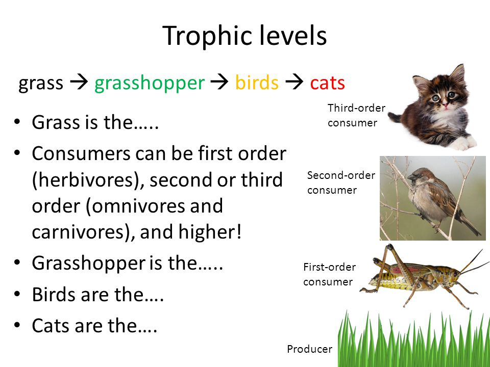 Trophic levels grass  grasshopper  birds  cats Grass is the…..