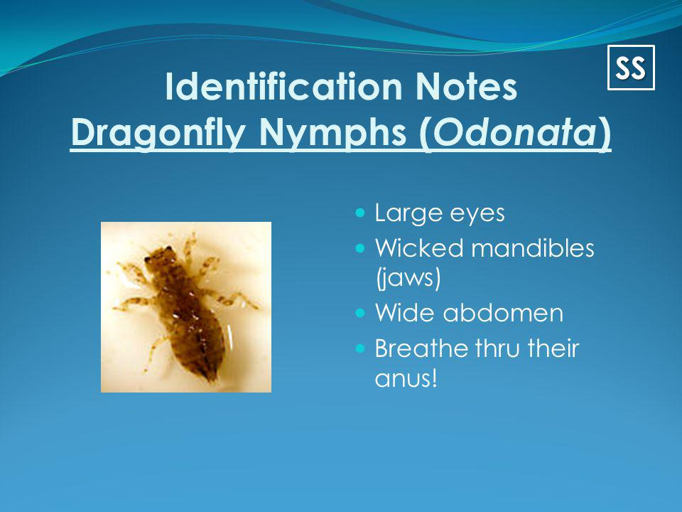 Identification Notes Dragonfly Nymphs (Odonata)