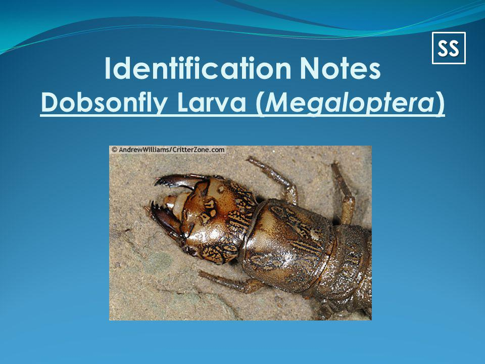 Identification Notes Dobsonfly Larva (Megaloptera)