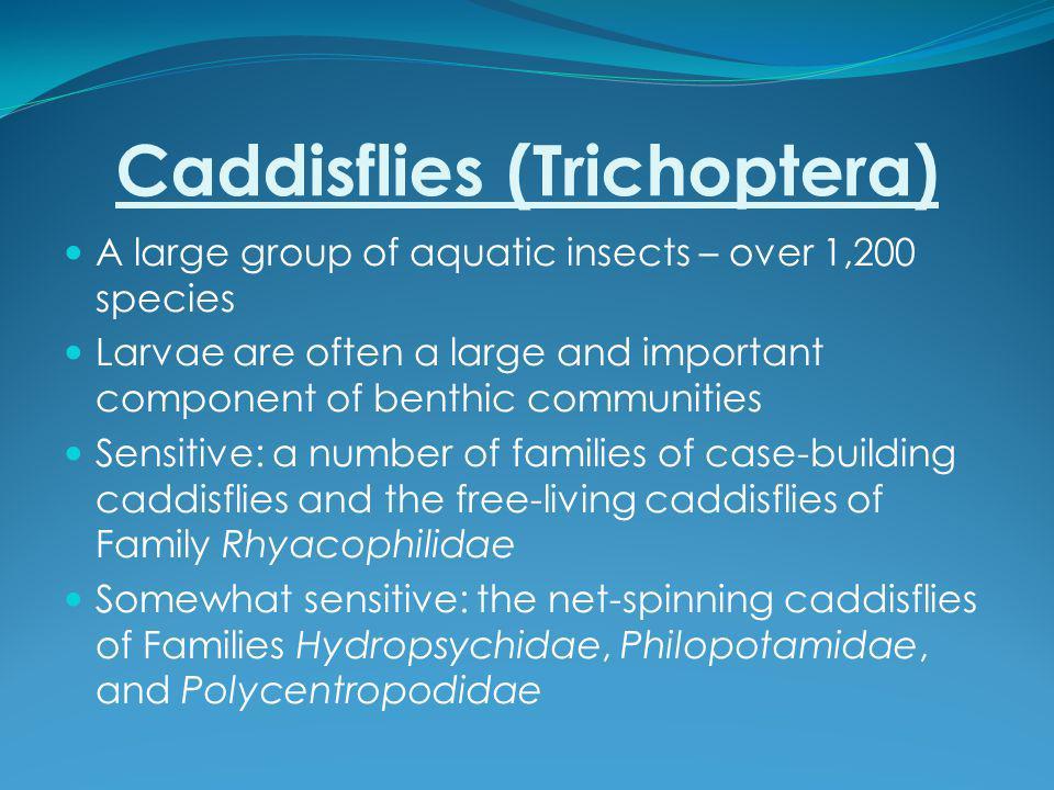 Caddisflies (Trichoptera)