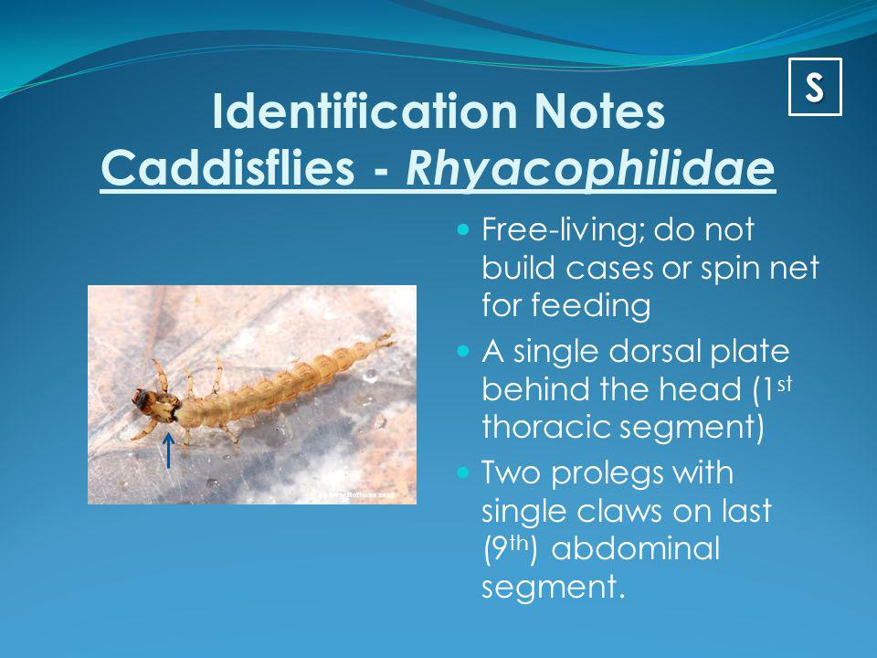 Identification Notes Caddisflies - Rhyacophilidae