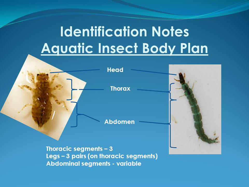Identification Notes Aquatic Insect Body Plan