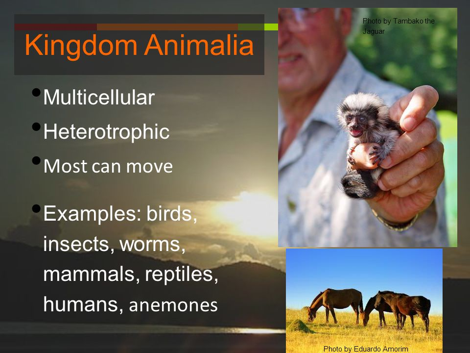 Kingdom Animalia Multicellular Heterotrophic Most can move