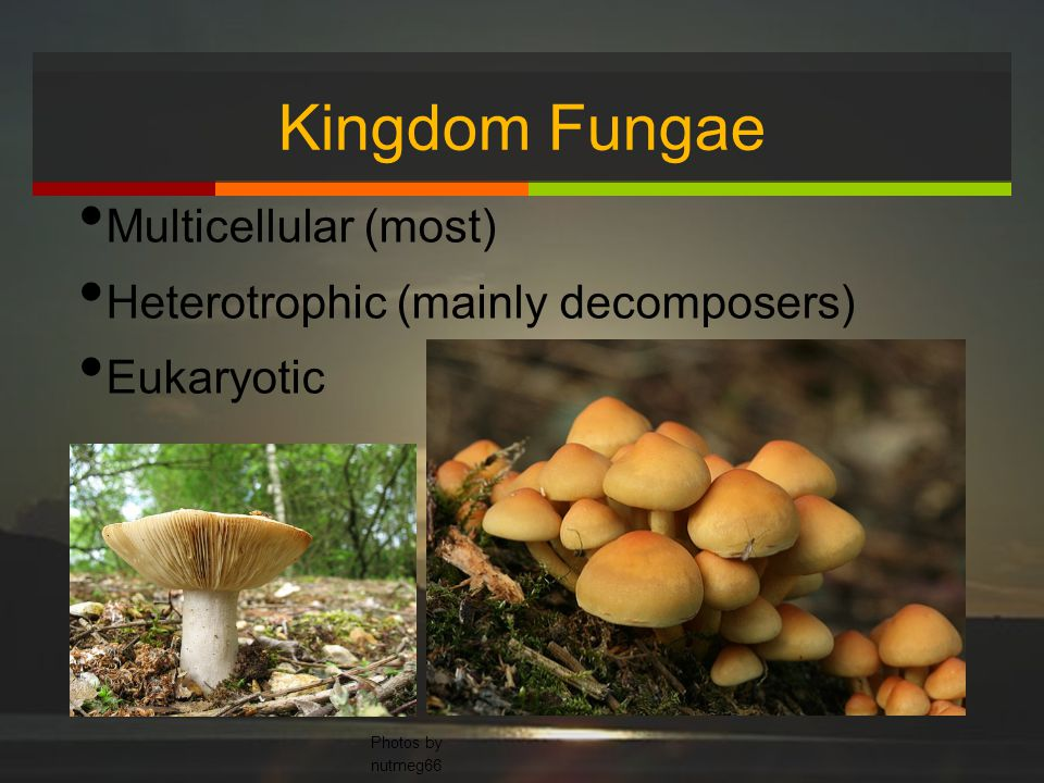 Kingdom Fungae Multicellular (most) Heterotrophic (mainly decomposers)