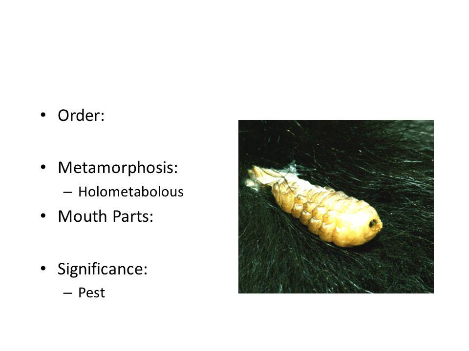 Order: Metamorphosis: Holometabolous Mouth Parts: Significance: Pest