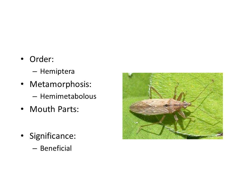 Order: Metamorphosis: Mouth Parts: Significance: Hemiptera