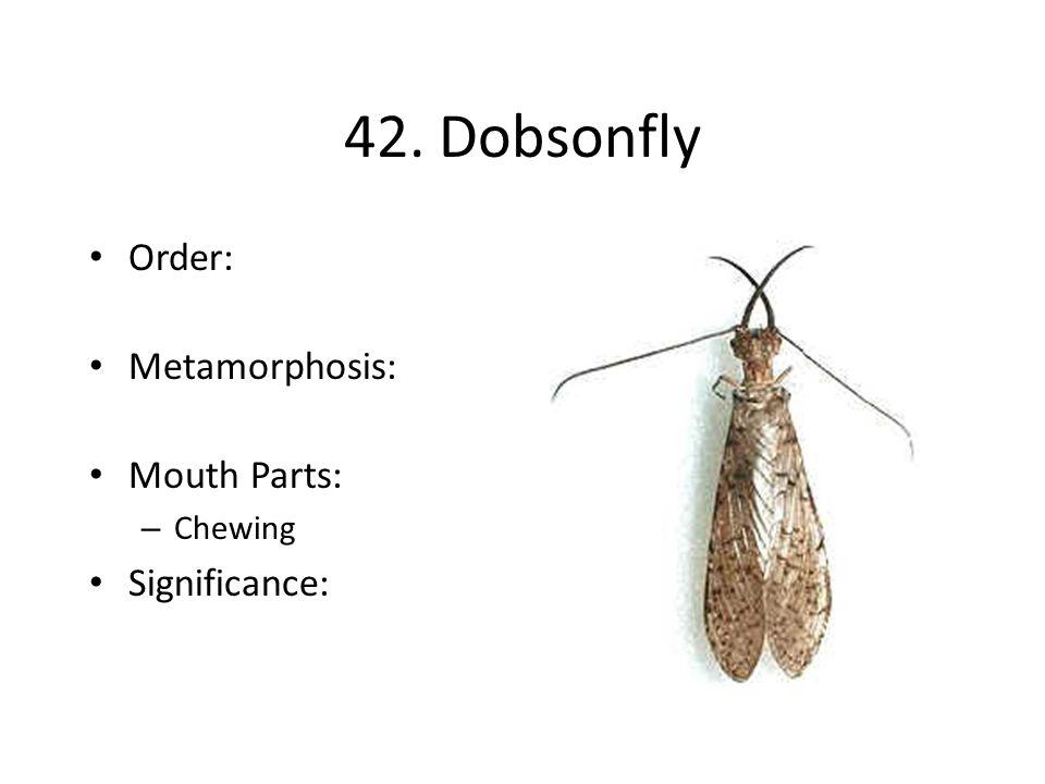 42. Dobsonfly Order: Metamorphosis: Mouth Parts: Chewing Significance: