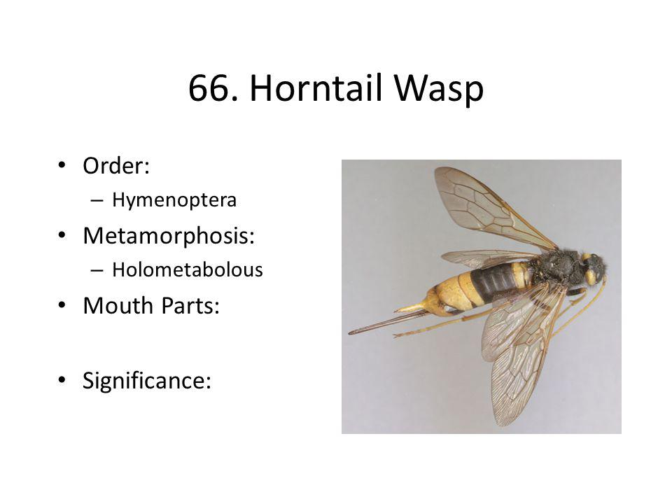 66. Horntail Wasp Order: Metamorphosis: Mouth Parts: Significance: