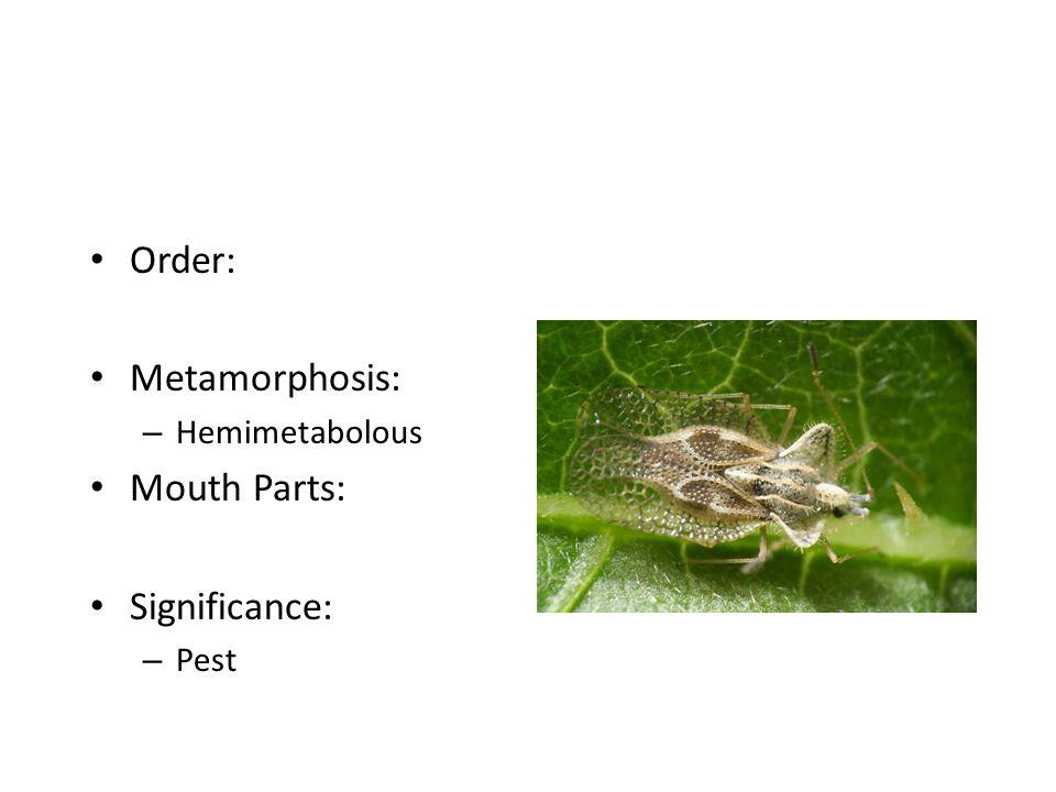 Order: Metamorphosis: Hemimetabolous Mouth Parts: Significance: Pest