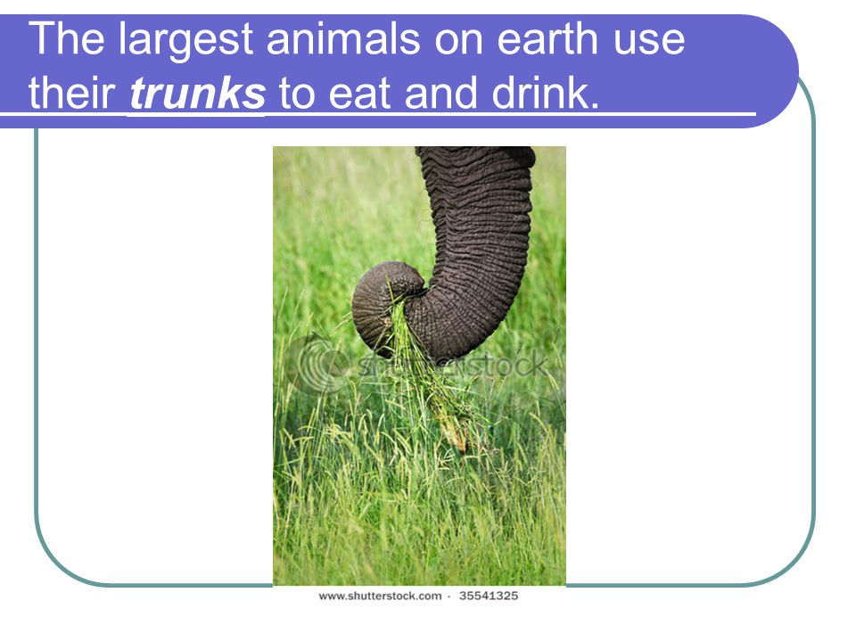 The largest animals on earth use their trunks to eat and drink.