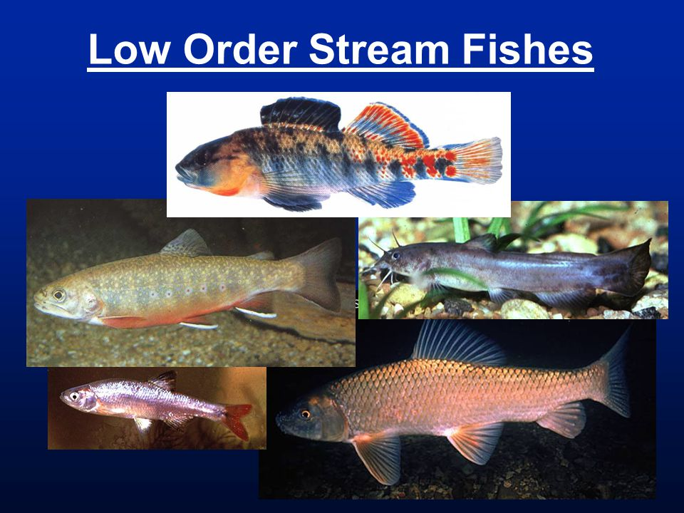 Low Order Stream Fishes