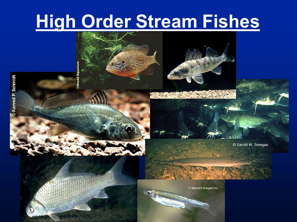 High Order Stream Fishes