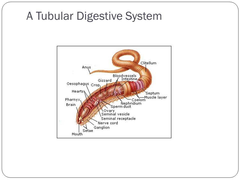 A Tubular Digestive System
