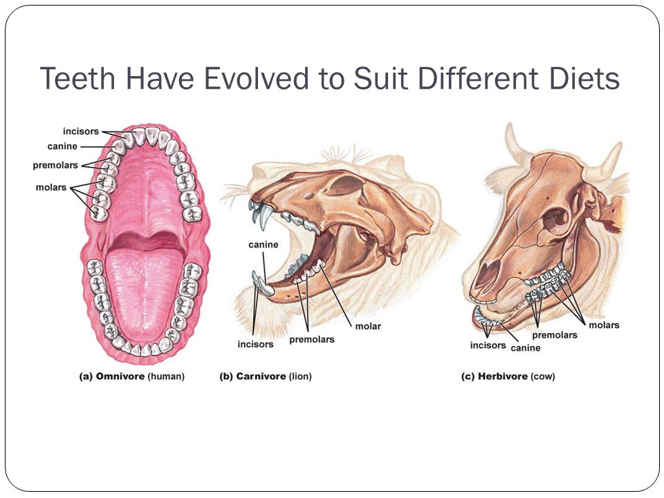 Teeth Have Evolved to Suit Different Diets