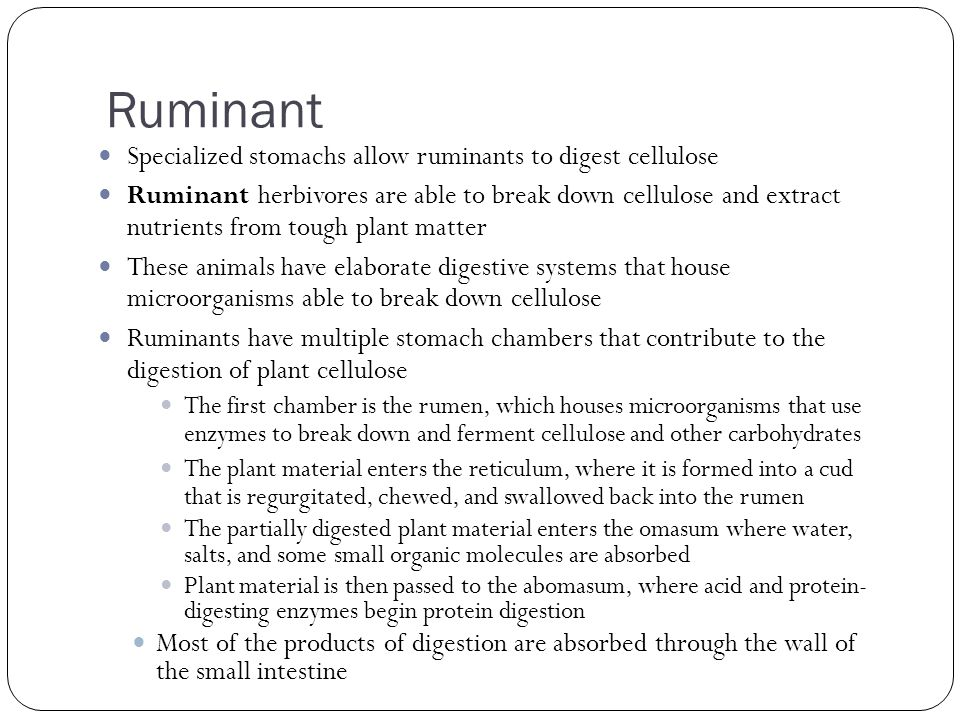 Ruminant Specialized stomachs allow ruminants to digest cellulose