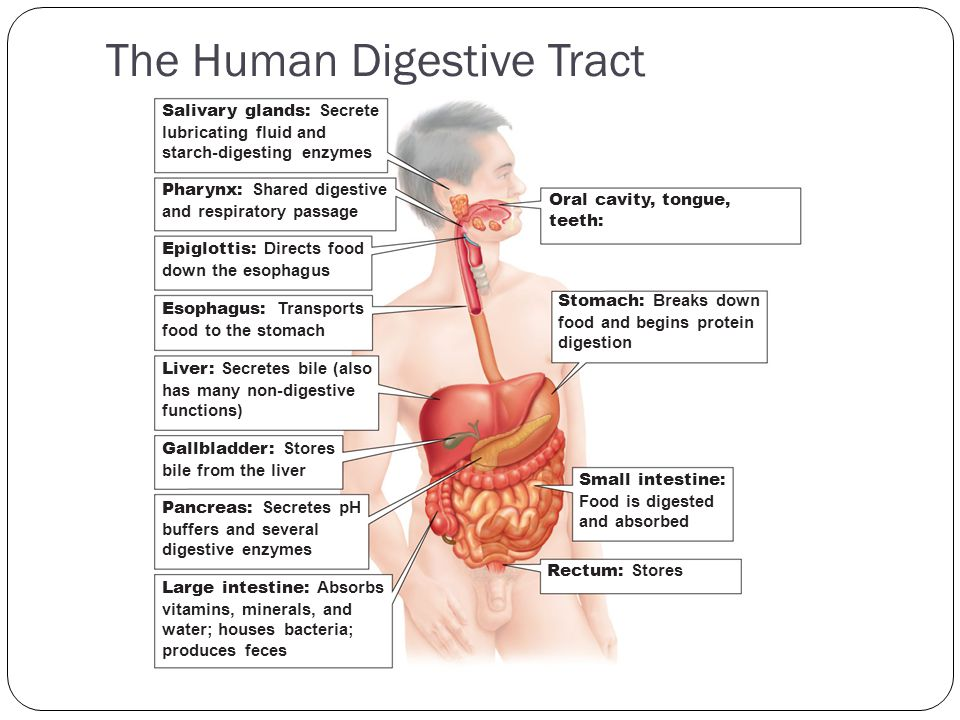 The Human Digestive Tract