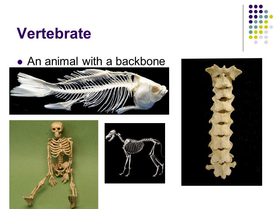 Vertebrate An animal with a backbone
