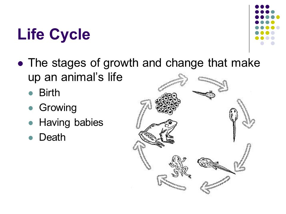 Life Cycle The stages of growth and change that make up an animal's life. Birth. Growing. Having babies.