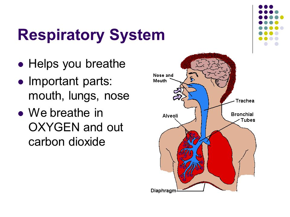 Respiratory System Helps you breathe