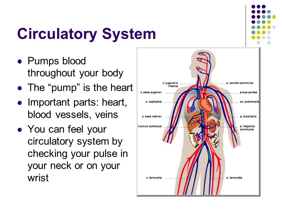 Circulatory System Pumps blood throughout your body