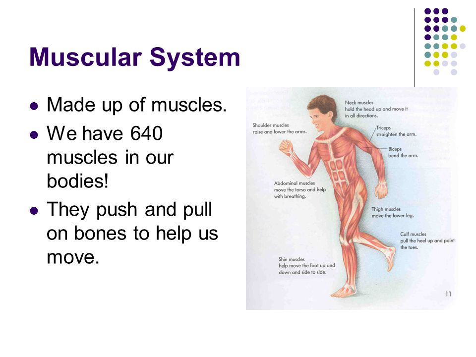 Muscular System Made up of muscles. We have 640 muscles in our bodies!