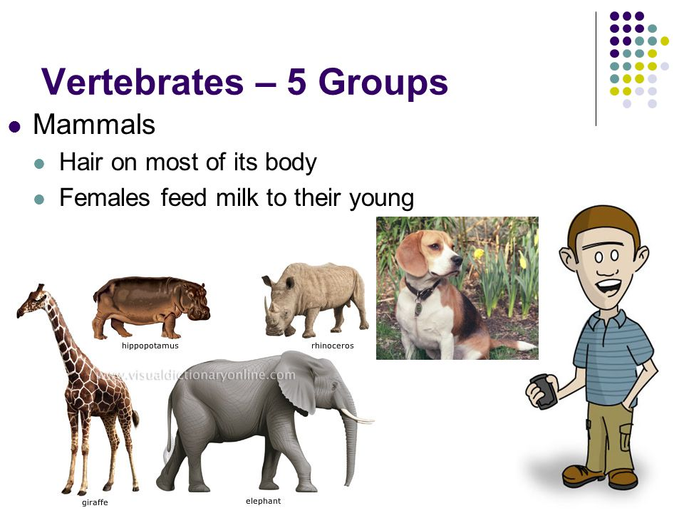 Vertebrates – 5 Groups Mammals Hair on most of its body