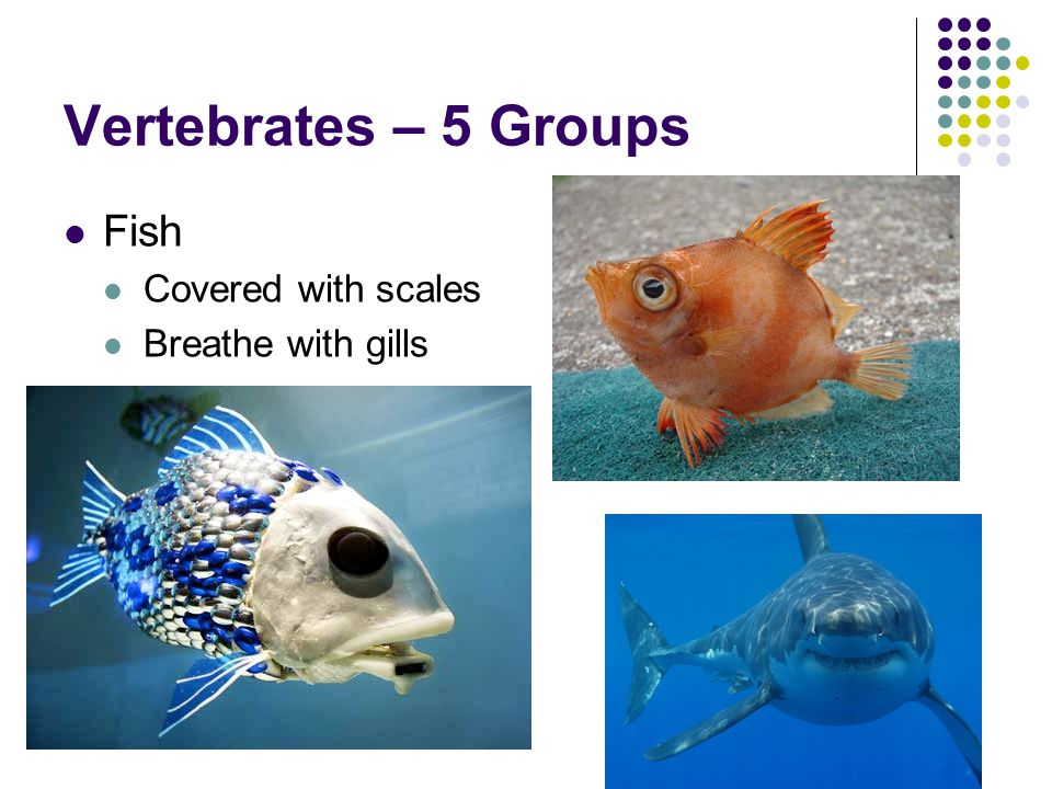 Vertebrates – 5 Groups Fish Covered with scales Breathe with gills