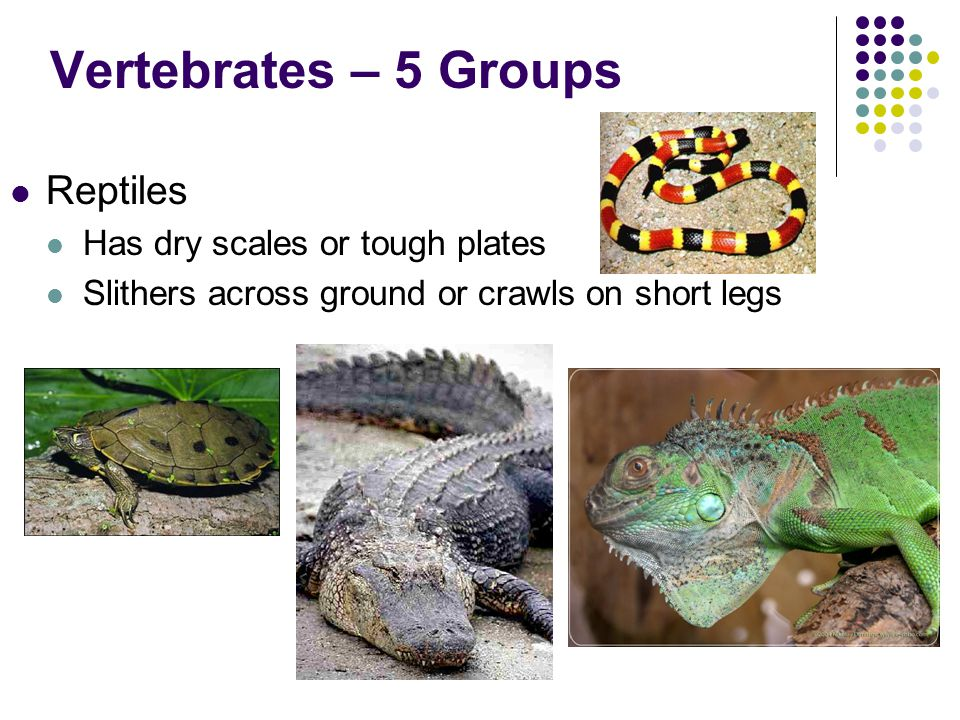 Vertebrates – 5 Groups Reptiles Has dry scales or tough plates